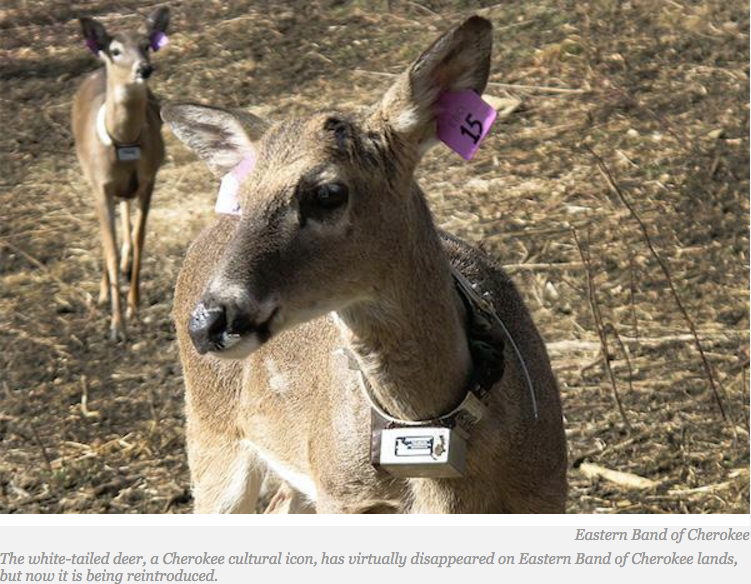Eastern Band of Cherokee Replenishes Iconic White-Tailed Deer on Its Lands