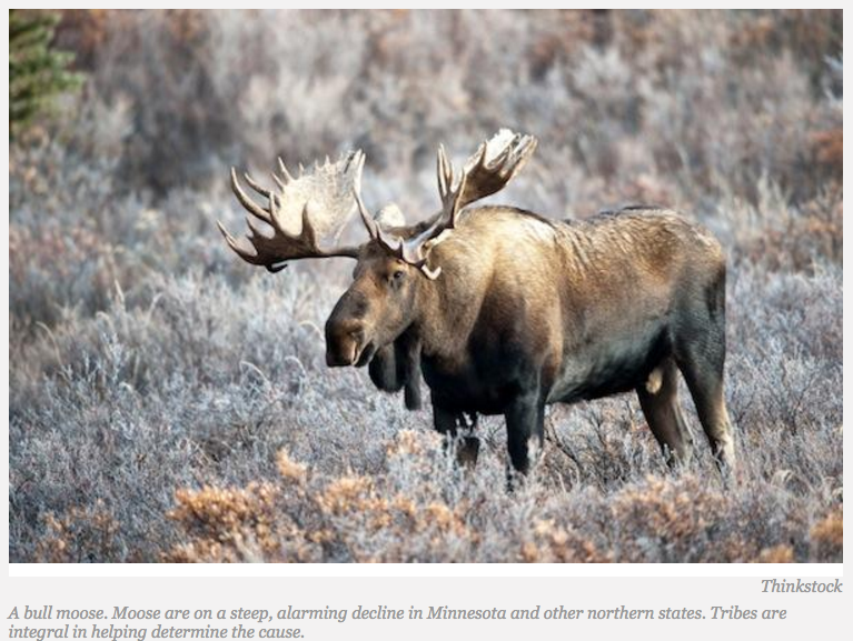 Minnesota Tribes Collaborate to Save State's Disappearing Moose Population