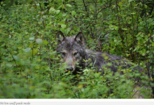 Colville Tribes Manage Wolves With Own Program